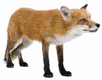 Foxes Like Sheep