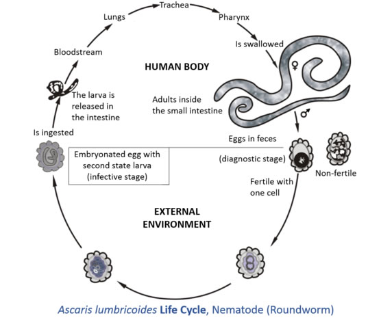 Roundworm Cycle