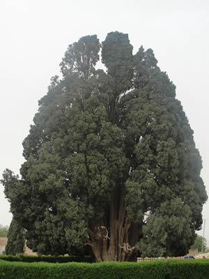 4000 years old Cypress Tree in Iran